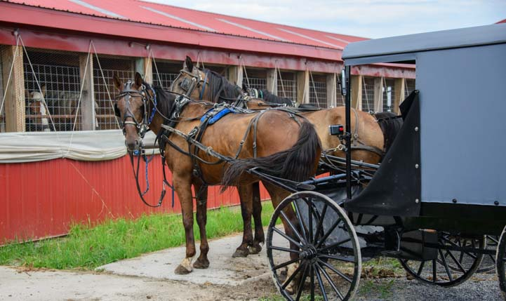 Amish horses and carriages lined up