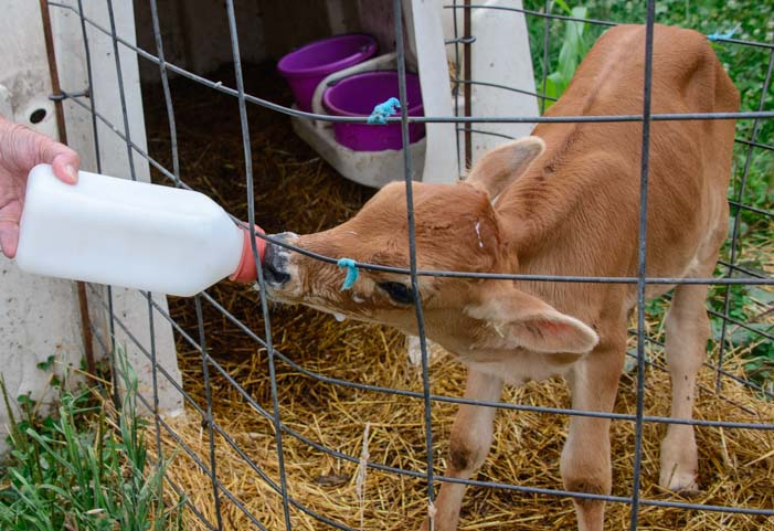 Calf on Amish dairy farm Finger Lakes New York
