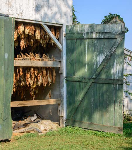 Tobacco drying in a barn Mason County Kentucky