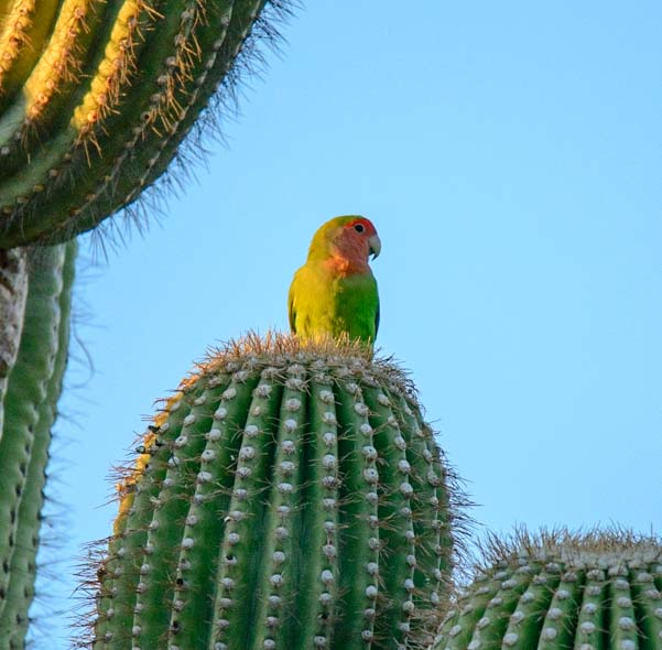 Peach faced lovebird parrot on saguaro cactus Scottsdale Arizona