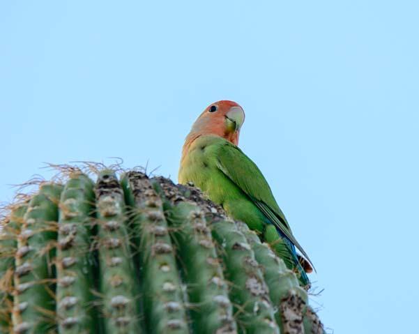 Peach faced lovebird parrot saguaro cactus Scottsdale Arizona