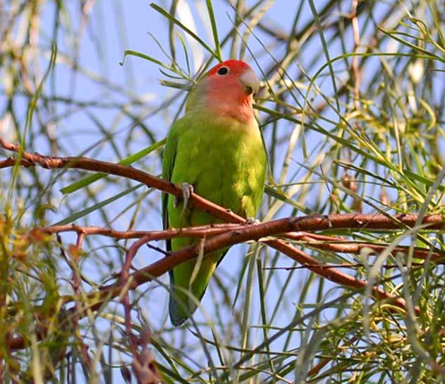 Peach faced lovebird parrot in Mesa Arizona