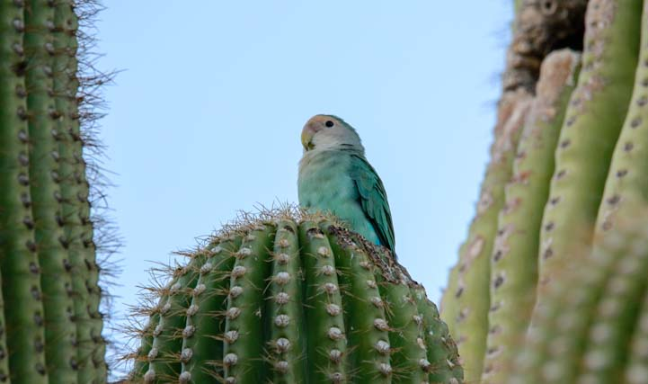 Peach faced lovebird parrot blue mutation Scottsdale Arizona