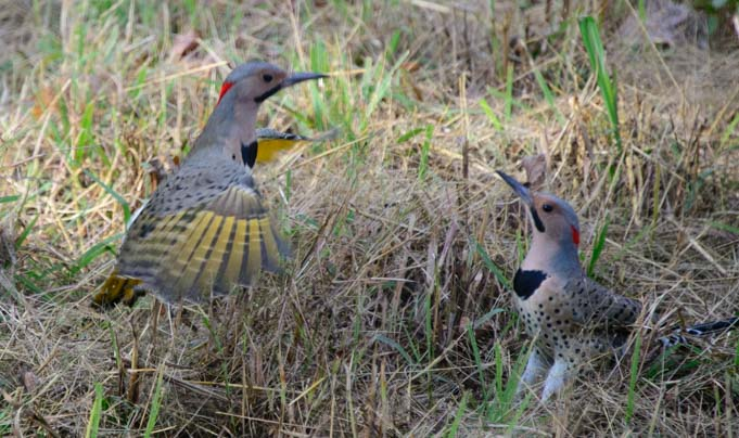 Northern Flickers courting in Oklahoma