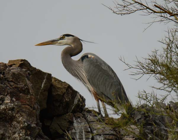 Great blue heron Salt River Arizona