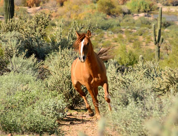 Salt River Wild Horse Arizona