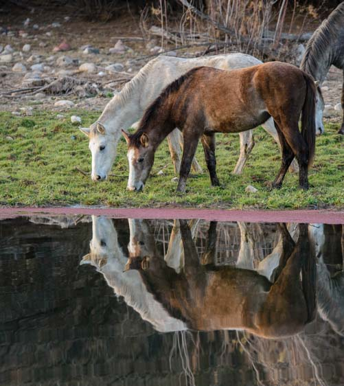 Salt River Wild horses drinking