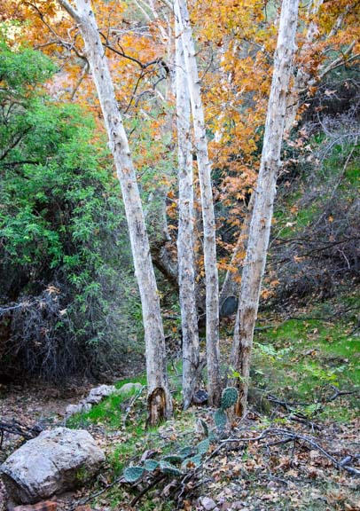 Sycamore tree fall colors Arizona