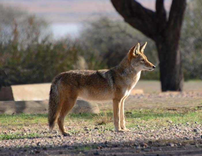 Coyote at Roosevelt Lake Arizona
