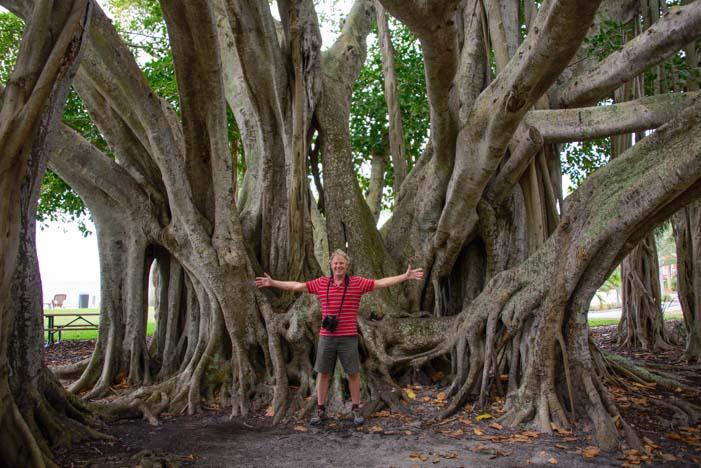 Banyan tree Sarasota Florida