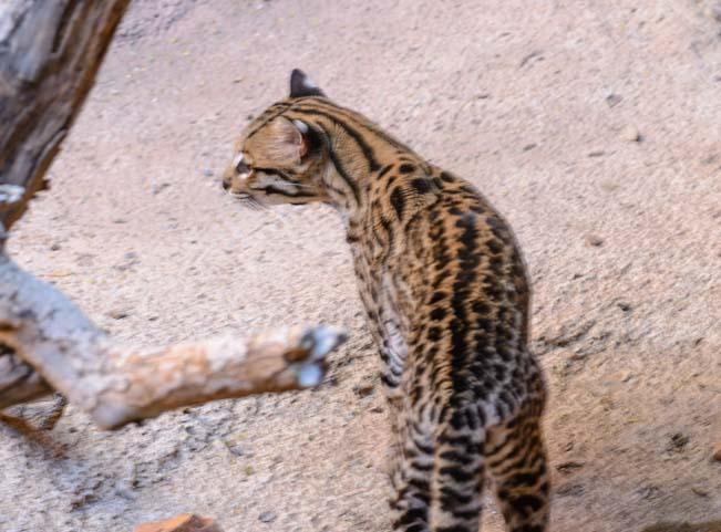 Ocelot Arizona-Sonora Desert Museum