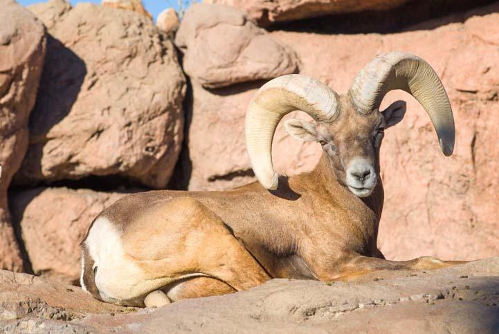 Big horn sheep Arizona Sonoran Desert Museum