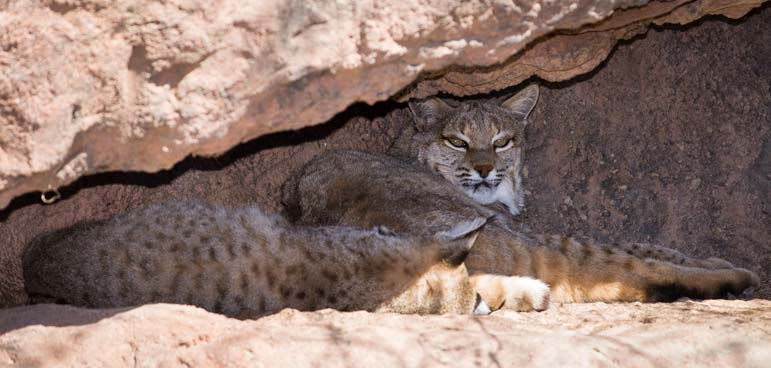 Bobcats Arizona Sonoran Desert Museum