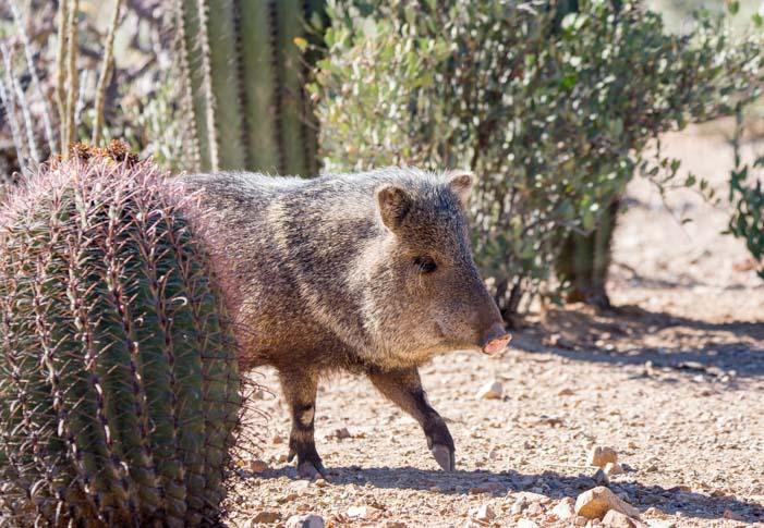 Javelina Arizona Sonoran Desert Museum