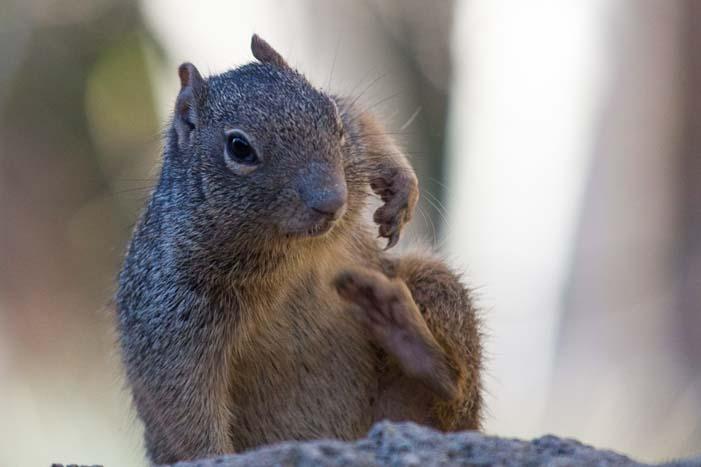 Squirrel Arizona Sonoran Desert Museum