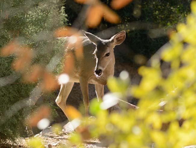 Deer Arizona Sonoran Desert Museum