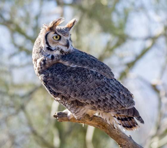 Great horned owl Arizona Sonoran Desert Museum