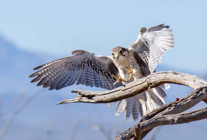 Peregrine Falcon Arizona Sonoran Desert Museum