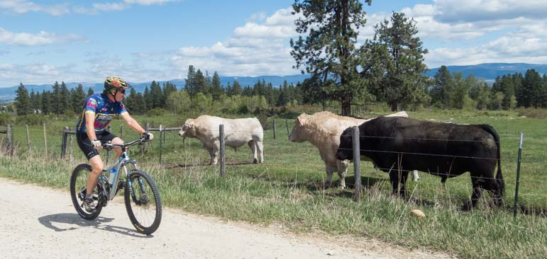 Mountain biking with cows on a Montana ranch