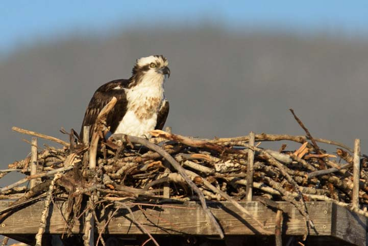 Seen while camping Osprey in nest Salmon Idaho