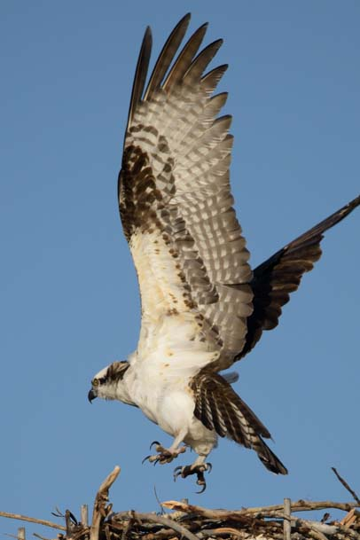 Osprey landing in its nest Salmon Idaho