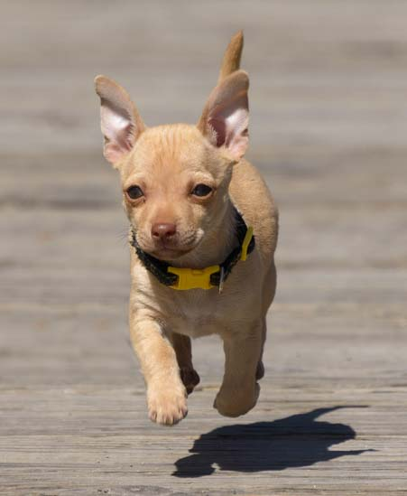 Chihuahua puppy running in Salmon Idaho