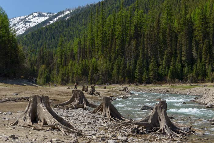 Tree stumps at Hungry Horse Reservoir Montana