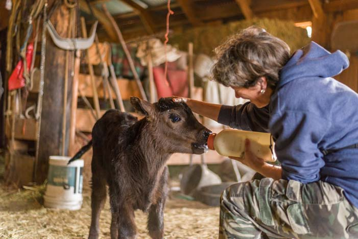 Bottle feeding a calf on a ranch in Montana