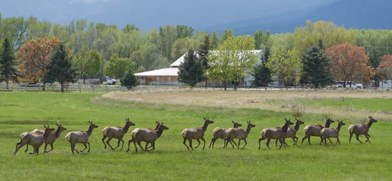 Elk herd runs across the Bitterroot Valley Montana