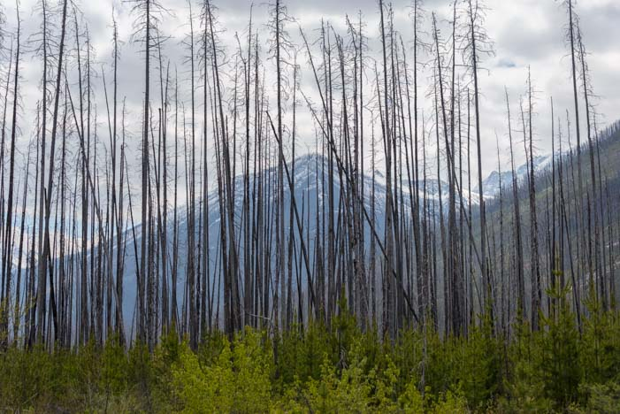 Burnt trees from a wildfire in Kootenay National Forest British Columbia Canada