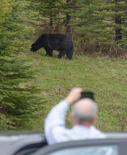 Getting a photo of a bear Banff National Park Canada
