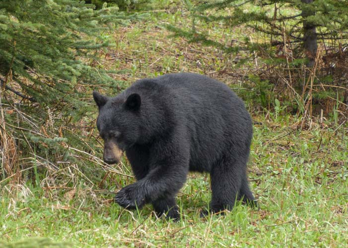 Black bear Icefields Parkway Banff National Park Canada