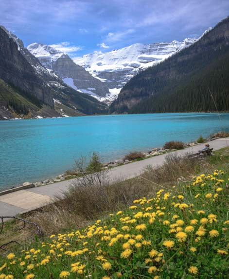 Lake Louise Dandelions and jade water Banff National Park