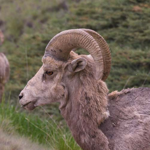 Rocky Mountain Big Horn Sheep head British Columbia Canada