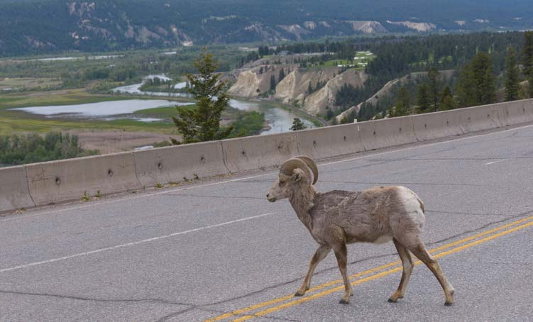 Big Horn sheep Invermere British Columbia Canada