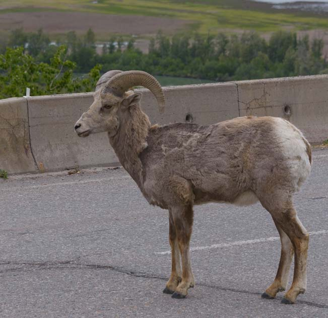 Big Horn Sheep Canadian Rockies Invermere British Columbia