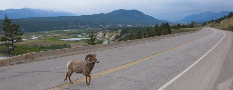 Rocky Mountain Big Horn Sheep crosses the road Invermere British Columbia Canada