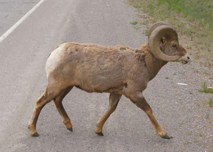 Ram big horn sheep Invermere British Columbia Canada