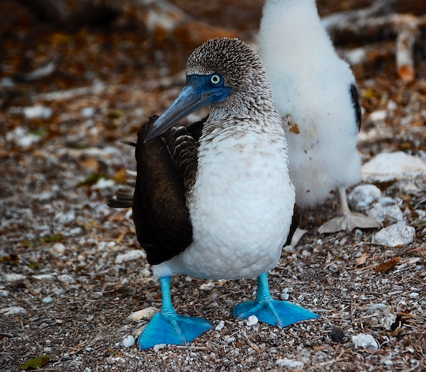 Blue footed boobie Pacific Mexico Coast
