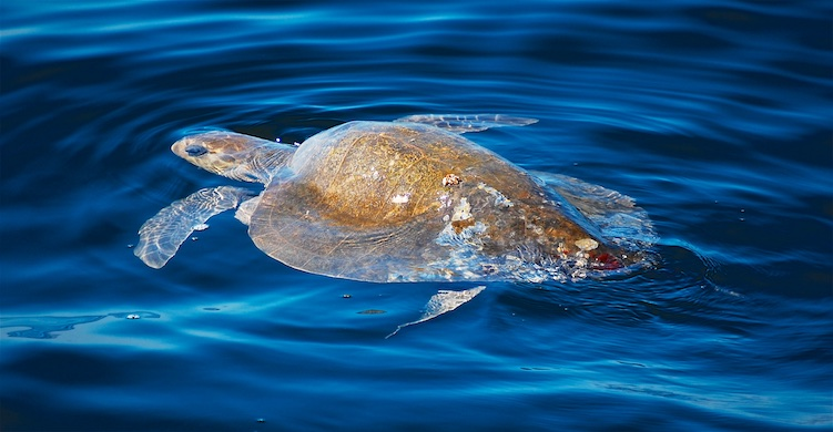 A sea turtle on Mexico's Pacific Coast