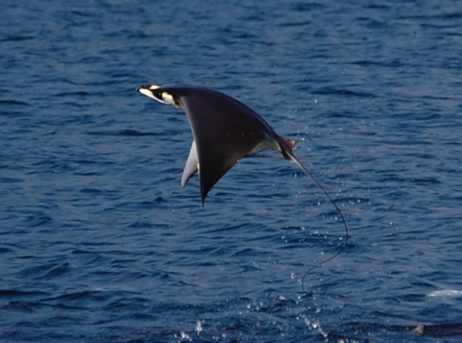 Flying mobula ray manta ray Mexico Pacific Coast