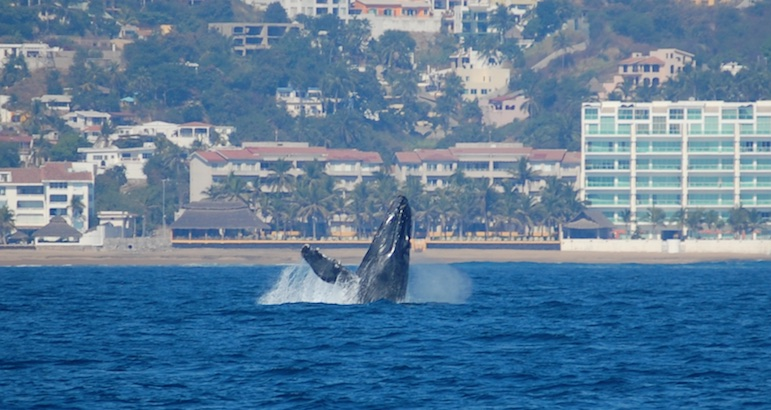 Breaching whale Santiago Bay Manzanillo Costalegre Mexico