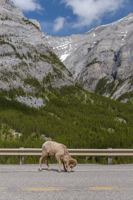 Bighorn Sheep Kananaskis Country Canadian Rockies
