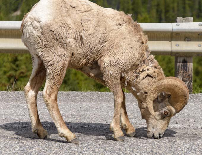 Bighorn Sheep Kananaskis Country Canadian Rockies