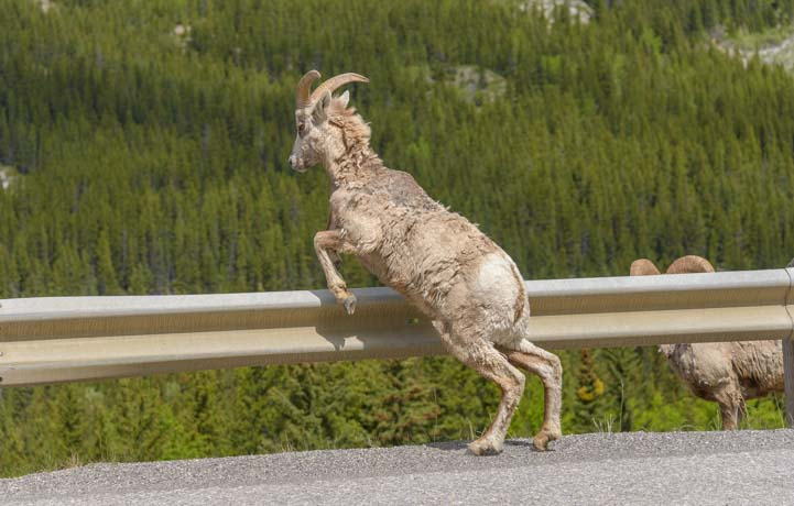 Bighorn Sheep jump Kananaskis Country Canadian Rockies