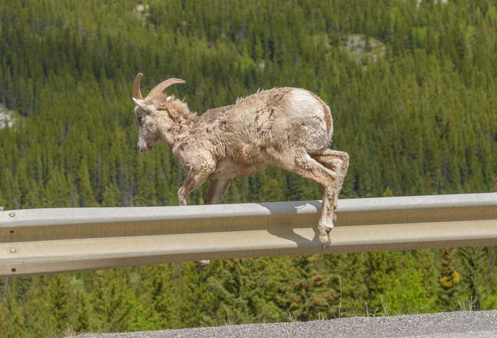 Leaping Bighorn Sheep Kananaskis Country Canadian Rockies