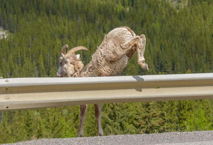 Fence hop Bighorn Sheep Kananaskis Country Canadian Rockies