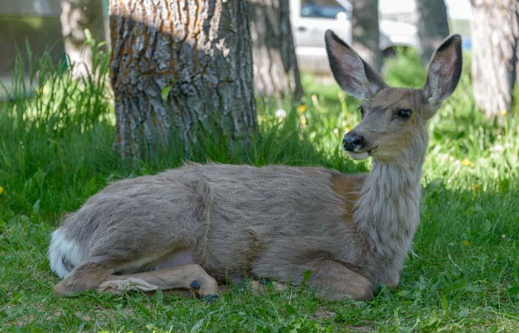 Deer in the grass Waterton Lakes National Park Alberta Canada