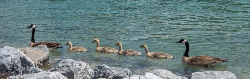 Geese and goslings Canmore Alberta Canada