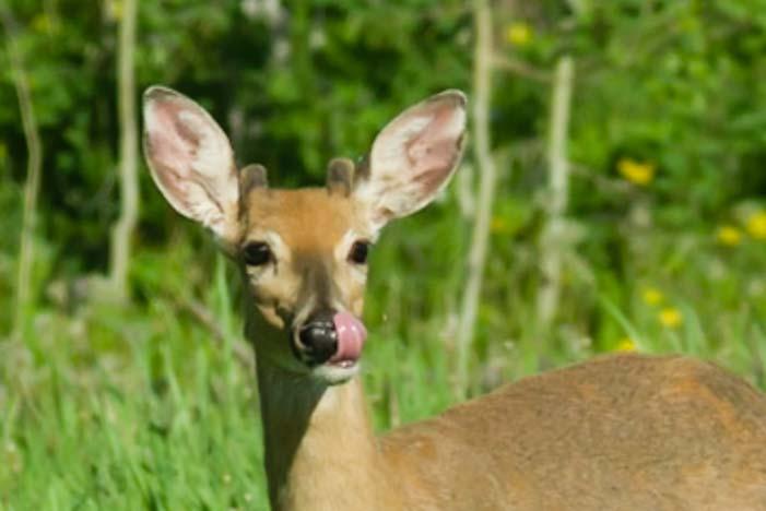 Deer licking its lips